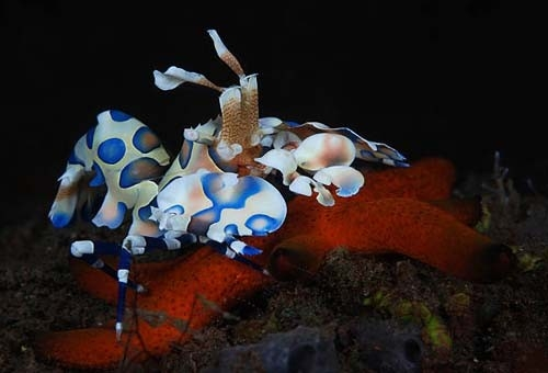 The Fish Guide - A Feeding Harlequin Shrimp