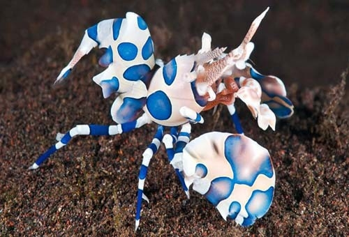 The Fish Guide - Harlequin Shrimp