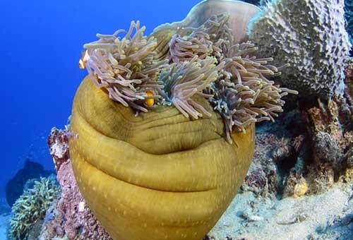 The Fish Guide - Magnificent-Anemone